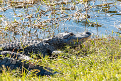 American Alligator waits for you to make a mistake
