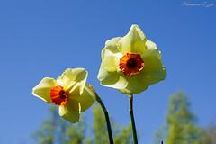 Narcisse, Jonquille (Ezzo33) Tags: france gironde nouvelleaquitaine bordeaux ezzo33 nammour ezzat sony rx10m3 parc jardin fleur fleurs flower flowers jaune yellow mauve rose pink rouge red bleu blue blanche white narcisse jonquille