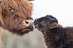 Highland mom & calf (Paula Darwinkel) Tags: highlandcattle cattle cow calf livestock animals wildlife nature cute spring baby wildlifephotography animal love