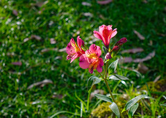 Lily of the Aztecs, a type of Peruvian Lily (phuong.sg@gmail.com) Tags: alstroemeria alstroemeriaceae angiospermae aurea background beautiful beauty biological biology bloom blooming blossom botanical botany closeup colorful floral flower foliage fresh garden green growth horticultural horticulture incas leaves lily natural nature outdoor perennial peruvian petal pink plant season summer