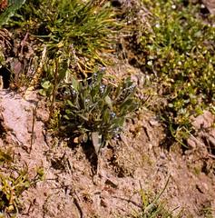 Myosotis stricta LINK ex ROEM. & SCHULT. Sand-Vergissmeinnicht, Aufrechtes Vergissmeinnicht, Steifes Vergissmeinnicht strict forget-me-not, blue scorpion grass. (Spiranthes2013) Tags: myosotisstrictalinkexroemschult vergissmeinnicht forgetmenot scorpiongrass vergissmeinnichtsteifes bluescorpiongrass myosotisstricta linkexroemschult sandvergissmeinnicht myosotis kfwolfstetter germany deutschland diaarchiv diascan becker bayern bavaria lowerfranconia unterfranken lkmiltenberg plant pflanze pflanzendias plantae nature natur sand angiosperms angiospermen eudicots eudicosiden asteriden asterids boraginoideae boraginales borages rauhblattgewächse raublattartige kerneudikotyledonen coreeudicots euasteriden euasterids 6x6dias 6x6