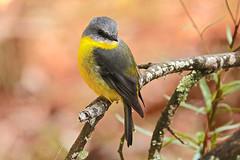 Eastern Yellow Robin (Rodger1943) Tags: robins easternyellowrobin sonyrx10m4 australianbirds