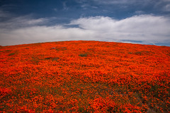 Antelope Valley Poppy Reserve California Poppies Wildflower Superbloom! Spring Wild Flower Super Bloom Elliot McGucken Fine Art Landscape & Nature Photography! Springtime Flowers Blooming! Nikon D850 & AF-S NIKKOR 28-300mm f/3.5-5.6G ED VR from Nikon! (45SURF Hero's Odyssey Mythology Landscapes & Godde) Tags: antelope valley poppy reserve california poppies wildflower superbloom spring wild flower super bloom elliot mcgucken fine art landscape nature photography springtime flowers blooming nikon d850 afs nikkor 28300mm f3556g ed vr from