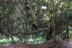 Tree (theq629) Tags: taiwan nantou shuili 水里 plant tree branch