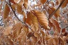More Frosting (Coquine!) Tags: christianleyk germany deutschland bavaria bayern egmating frost icing eis ice winter cold kalt kälte leaves blatt blätter buche