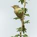 Buff-bellied Warbler - Nairobi NP - Kenya CD5A9777