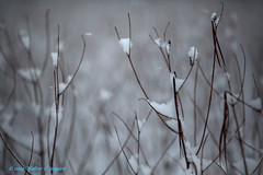 Searching for the Sound of Silence No 2 (Walt Snyder) Tags: canoneos5dmkiii canonef135mf20lusm snow snowfall milkweed milkweedstalks weeds field winter january whited f20