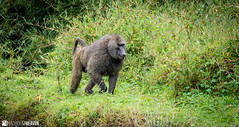 Kenya - 0767 (Madhouse Heaven) Tags: animals kenya mountkenya ourworld travel tourism nature africa safari wild wilderness mountain adventure trek hike climb