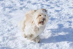 The joy of snow (Chickpeasrule) Tags: evie goldendoodle zoomies joy running winter happy