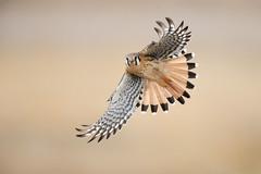 American Kestrel (www.studebakerstudio.com) Tags: american kestrel americankestrel raptor falcon bird wildlife nature utah studebaker d850