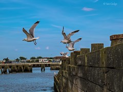 Take Off (Ian Gedge) Tags: england english uk britain british eastanglia suffolk walberswick gulls seagulls harbour river water