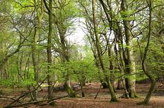 New Forest NP, Hampshire, UK (east med wanderer) Tags: england hampshire newforestnationalpark nationalpark trees beech oak woodland forest spring markashwood green lyndhurst