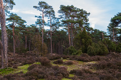 The forest (jan.vd.wolf) Tags: soest utrecht nederland nl forest wald bos boom tree bosque arbol naturaleza forêt arbre nature netherlands
