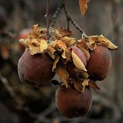 Bad Apples (arbyreed) Tags: arbyreed lookingcloseonfriday apples close closeup leftoverapples oldapplesonatree