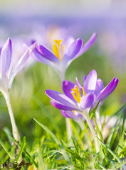 Such A Lovely Sunny Day Flowers Blossoming The First Sings Of Spring (happad fotografie) Tags: flowers blossoming spring purple green yellow bright colorful vibrant seasonal dof depth of field bokeh nikkor nikon d610 2470mm low perspective grass