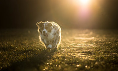Naska (morgane.machard) Tags: australianshepherd dog bluemerle bergeraustralien chien sunset photography