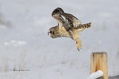 Focused! (Asio flammeus) (Canon Queen Rocks (2,715,000 + views)) Tags: wildlife wings wild nature owls owl shortearedowl flying feathers birds bird birdofprey birdsofprey raptor talons snow winter alberta canada outside white