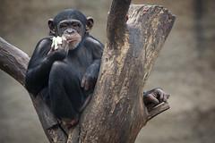 Chimpanse Kind (DeanB Photography) Tags: 1dx 2019 animals canon deanb osnabrück sigma sigma150600 themenwlt tier tiere tierpark tierwelt zoo animal tierfotograf zoopark chimpansen chimpanse