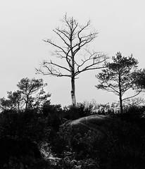 Bergen Tree Study 1 (ECKE86) Tags: schwarz weiss schwarzundweiss black white blackandwhite monochrome blackwhite grey tree stone rock peak hilltop sky bush fog dull damp sad old cloud bergen norway 2019 march noireetblanc