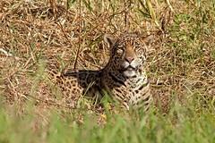 Jaguar (aivar.mikko) Tags: jaguar sit sitting river island brazil pantanal pantheraonca wildlife southamerica matogrosso wetlands portojofre cuiaba bigcat bigcats southamerican brazilian south america american mato grosso porto jofre big cat cats panthera onca coth coth5 ngc