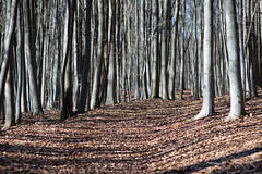 Trees Trees Trees (socialtiger) Tags: tree trees wood woods walking sunday hiking colors lot many leaves brown golden red reduced art shadows path hidden sky white wald buche buchen bäume pfad weg spazieren viele muster laub blätter