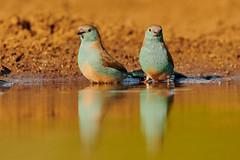 ZIM_5289 (lucvanderbiest) Tags: bluewaxbill angoleesblauwfazantje tambotihide zimangaprivatereserve southafrica