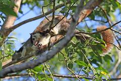 Grizzled Giant Squirrel - Ratufa macroura (Roger Wasley) Tags: grizzled giant squirrel ratufa macroura sigiriya srilanka animal asia