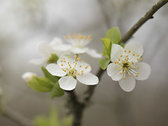 Un air de printemps **--- ° (Titole) Tags: bloomingtree blooming branch titole nicolefaton thechallengefactory