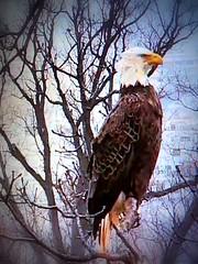 Justice SCREENSHOT3-3-2019 (4) (THE Halloween Queen) Tags: eagles eagle wildlife bald baldeagles nationssymbol patriotic