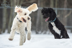 Picture of the Day (Keshet Kennels & Rescue) Tags: adoption dog ottawa ontario canada keshet large breed dogs animal animals pet pets field nature photography winter snow smile friends play two goldendoodle sheepadoodle fun chase tag run happy