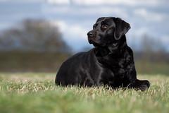 is there someone (uwe.kast) Tags: labrador labradorretriever labradorredriver hund haustier dog bichou bokeh black wiese wolken panasonic lumix g9 100300