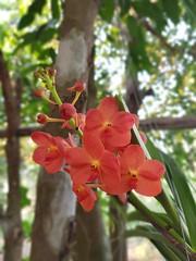 Vanda sp. Orchidaceae - orange vanda orchid 10 (SierraSunrise) Tags: epiphytes esarn flowers hanging hangingplants isaan nongkhai orange orchidaceae orchids phonphisai plants thailand