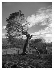 Medio árbol (Eugenio García.) Tags: zeiss ikon tessar ilford fp4 ddx epson v700 betterscanning 7cm 530a filtroamarillo superikonta