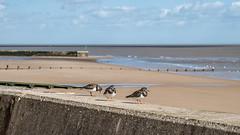 Turnstones on the sea wall (pstani) Tags: arenariainterpres england essex europe greatbritain scolopacidae waltononthenaze bird fauna ruddyturnstone turnstone wader