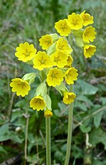 Spring Flowers (Glass Angel) Tags: springflowers cowslip sheffield southyorkshire england uk