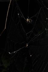 Pirate spider (Gelanor sp.) hunting araneid (pbertner) Tags: mimetidae piratespider stalking web tangledwebsblog araneid araneophagic southamerica perunature peru rainforest rainforestexpeditions madrededios puertomaldonado posadaamazonas behaviour nocturnal understory
