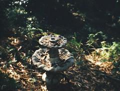 Birdbath filled with leaves (Matthew Paul Argall) Tags: imperialm110magimatic fixedfocus 110 110film subminiaturefilm lomographyfilm 200isofilm plasticlens cheaplens toycamera birdbath