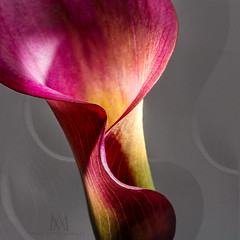 red cala lily (marianna armata) Tags: cala lily macro flower pink red magenta ligth grey lines curves abstract detail part marianna armata square