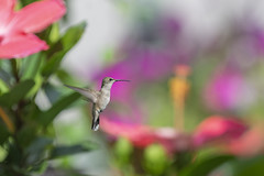 Near the Hibiscus (DansPhotoArt) Tags: nature migratory garden fresh free fauna colibris bokeh birdwatching hummingbird alert archilocuscolubris aves avian backyard balance beautiful beauty beijaflores bird nopeople ornithology outdoors passaros rubythroatedhummingbird wild wildlife wings animal beak birds black color colorful flying green hummer inflight isolated little outdoor natural passerine small summer tiny white wing apodiformes background feather iridescent pollination pollinator shining