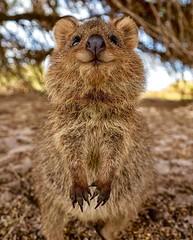 Australia - Fauna - KOALA - 4 (monte-leone) Tags: koala tiere animals fauna australia australien