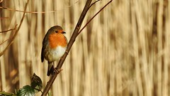 Robin (LouisaHocking) Tags: forestfarm british wild wildlife southwales wales nature robin bird gardenbird