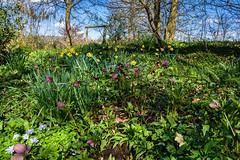 Spring flower bank (tonybill) Tags: march sonya7riii sonyfe24105mmf4 spring sunshine surrey vann garden