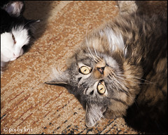 Belle and Goober Mar 2019 (pixbykris) Tags: cat kitty kitteh mainecoon coon tabby goober silly
