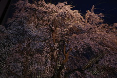 ji Temple Sakura blossoms 11 (HAMACHI!) Tags: tokyo 2019 japan ricoh ricohimaging ricohgr ricohgriii ricohgr3 gr3 griii gr weepingcherry 常圓寺 joenjitemple sakura cherryblossoms cherryblossom cherry night nightscene nightscape nightview lightup flower