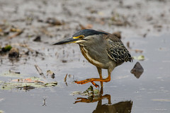 Green-backed Heron -8770 (Theo Locher) Tags: birds butoridesstriata greenbackedheron groenrugreier oiseaux vogels vögel zuidafrika southafrica krugernationalpark kruger copyrighttheolocher