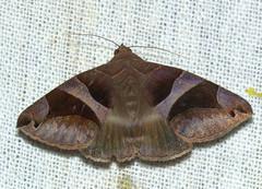 ecosystem/fauna/Erebid Moth(Bastilla arcuata) (biodiversity western ghats(before it is gone)) Tags: taxonomy:binomial=bastillaarcuata erebidae erebinae poaphilini diversityindia indianmoths