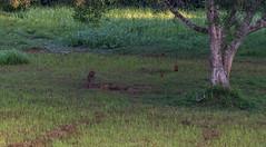 DSC_5399 (Adrian Royle) Tags: malaysia tamannegara travel holiday nature wildlife mammal deer forest outdoors nikon barkingdeer muntjac