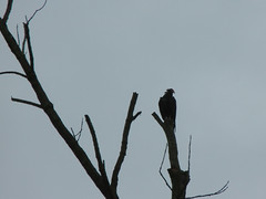 13/52 -- 2019 -- Ominous (Pandora-no-hako) Tags: project52 2019 indianapolis indiana vulture crownhill cemetery tree minimalism mood bird animal