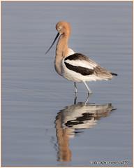 Soaking Up The Morning Rays (pandatub) Tags: bird birds shorebird avocet americanavocet shorelineatmountainview mountainview