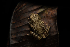 Tree Frog Dorsal View (worm600) Tags: ecuador animal sumaco wildsumaco frog treefrog